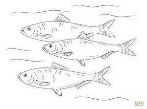 Walleye Fish Coloring Pages Walleye Coloring Page