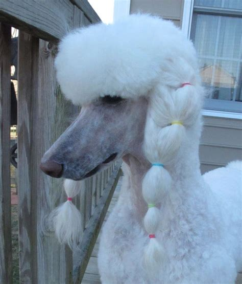 miniature french poodle hairstyles 184 best poodles images on pinterest standard poodles