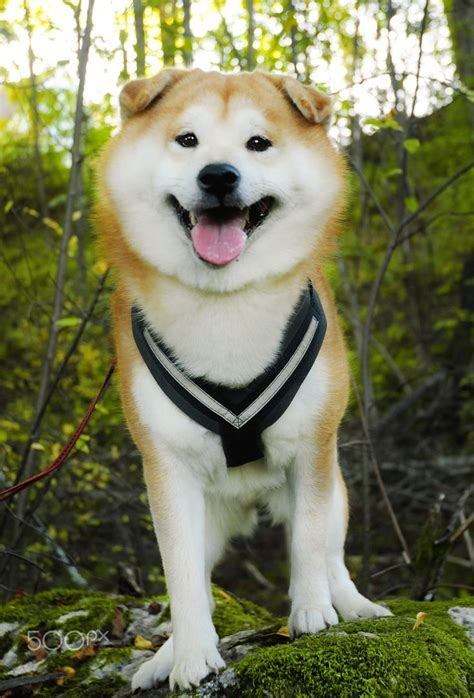 wholetones for dogs 500 best images about 済み on doggies shiba inu puppies and