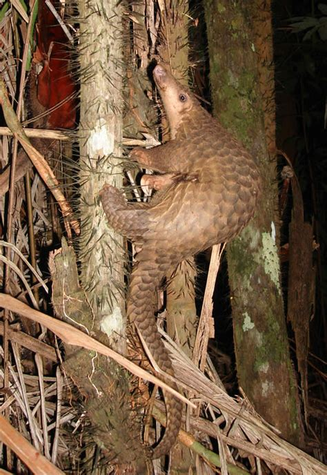 pangolin wikipedia