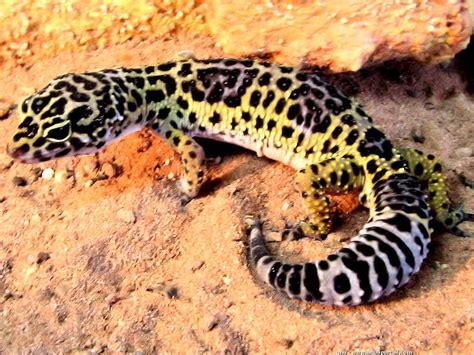 leopard gecko heat l eublepharis macularius gecko l 233 opard aquaportail