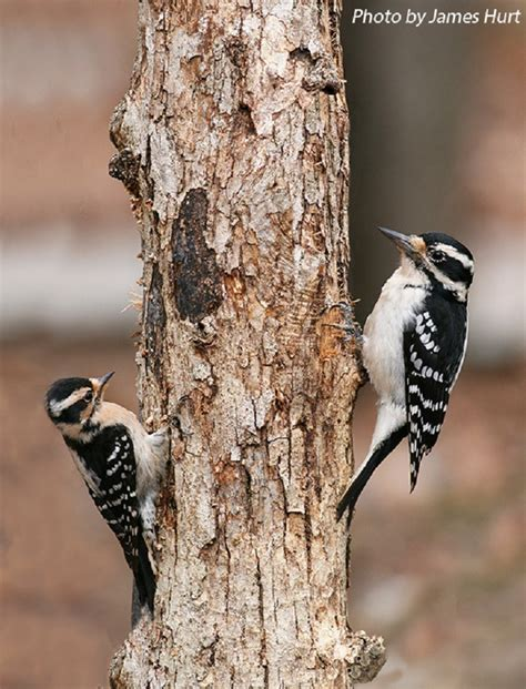 tennessee watchable wildlife hairy woodpecker habitat