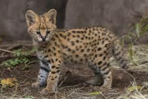 kitty serval kitten public debut san diego zoo times san diego