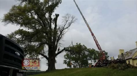 cut your own tree in carrol county md one of maryland s oldest trees cut due to disease cbs baltimore