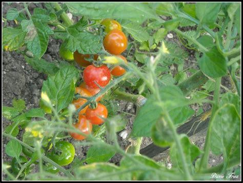 les tomates du jardin le bonheur est 233 ph 233 m 232 re