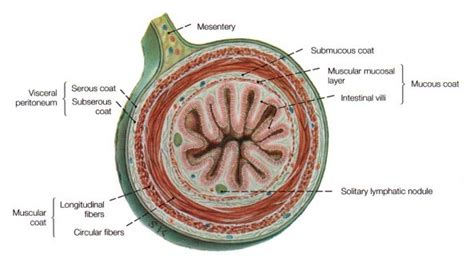 transverse section of small intestine intestinal villi archives allergies your gut
