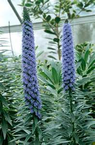 Purple Flowering Shrubs Australia - echium candicans pride of madeira rhs gardening