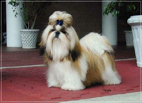 does a shih tzu shed 20 low maintenance breeds