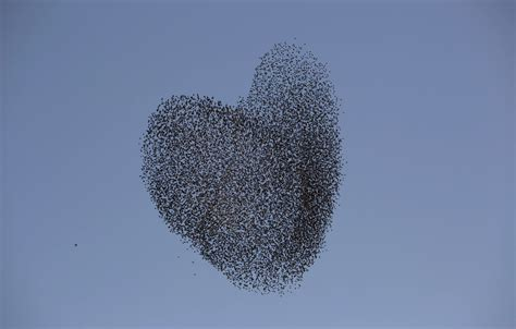 est100 一些攝影 some photos a flock of migrating starlings