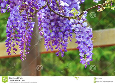 copy right free pictures of purple wisteria purple wisteria flowers bean tree wisteria purple vine stock photo image 90155896