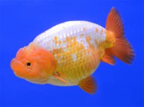 Oranda Rw Black Ranchu goldfish goldfish types