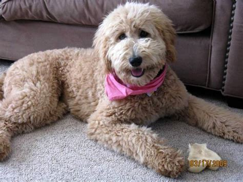 haircut for goldendoodle goldendoodle haircuts goldendoodle haircuts styles