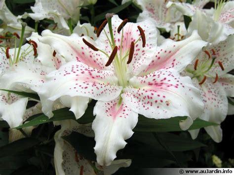 Variete De Lys by Lis Lilium Planter Cultiver Multiplier