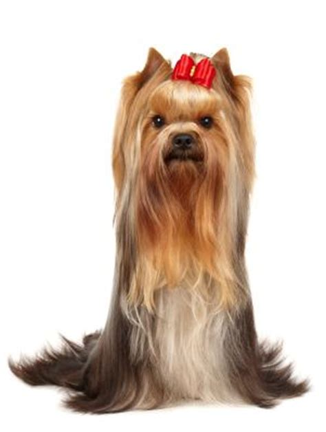 yorkie with bows in hair terrier lovetoknow
