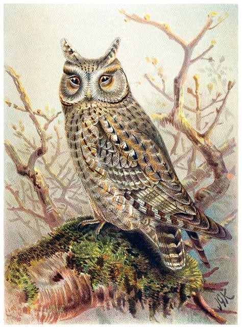 eurasian scops owl  book illustrations