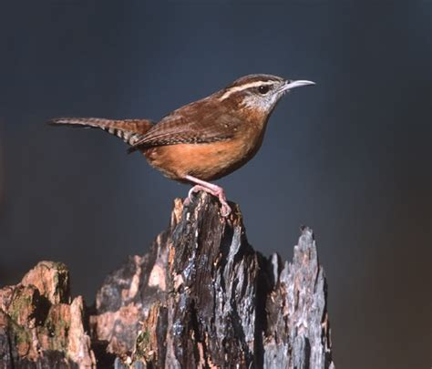 about those wrens