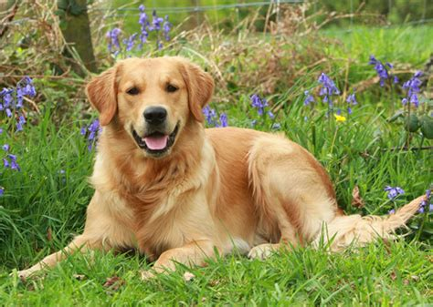 westminster golden retriever breeds that never won the westminster show ex great danes