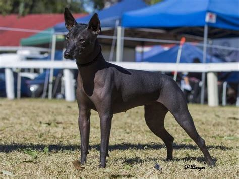 xoloitzcuintli puppies for sale miniature xolos breeds picture