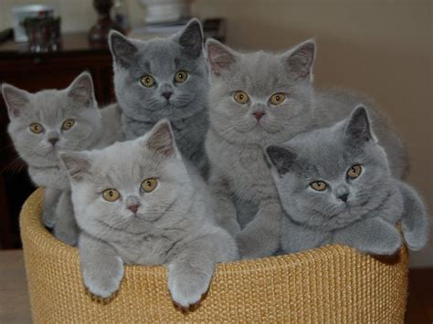 Blue Cats Patchwork - 17 best ideas about shorthair on