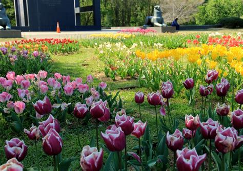 last chance to see tulips at the netherlands carillon
