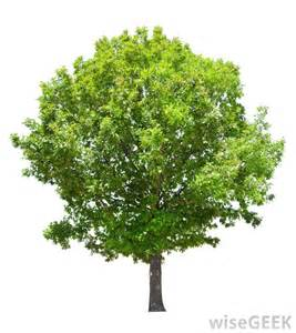 best type of tree for what are the best tips for planting oak trees with pictures