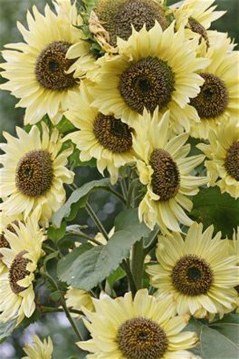 Benih Bibit Seeds Flower Lemon Sunflower Bunga Matahari Muda 17 best images about lemon sunflower on