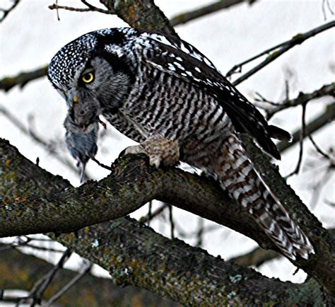killer owl tribe s northern hawk owl killer sentenced but will he