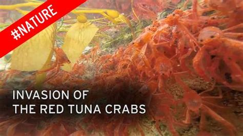 Southern California Crustaceans The Heiress Crab by Hundred Of Thousands Of Tiny Crabs Invade As