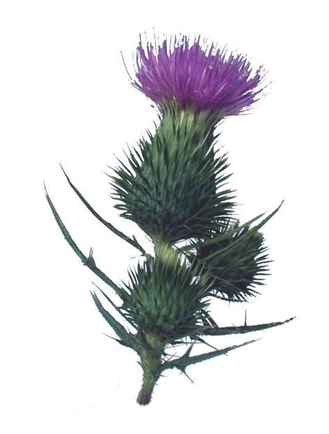gallery for gt scottish thistle tattoo designs cliparts co