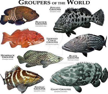 mari kenali ikan kerapu groupers ultralight fishing
