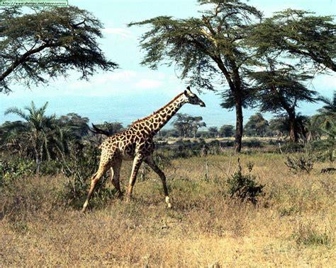 imagenes de jirafas para jardin fotos de jirafas