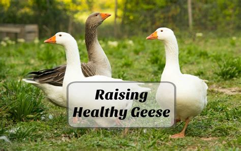 how to raise healthy geese for the backyard farm timber