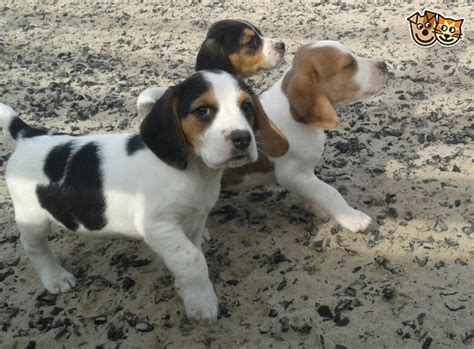 beagle puppies for sale colorado beagle puppies for sale brecon powys pets4homes