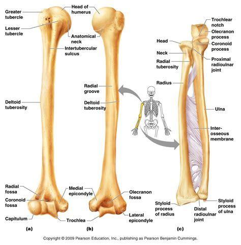 shin bone diagram tibia anatomy diagram human anatomy diagram