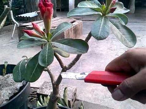 Pupuk Untuk Bunga Kamboja Jepang tanaman hias doovi