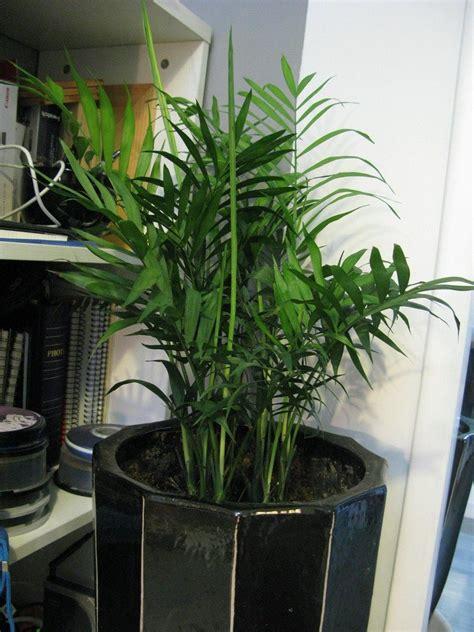 areca palm plants   grow areca palm houseplant