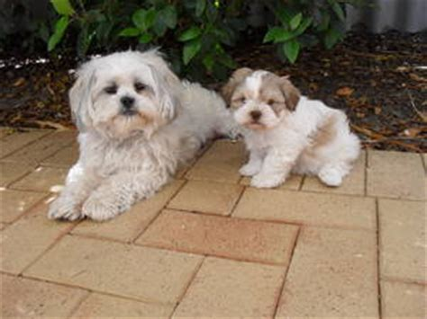 maltese shih tzu puppies for sale perth maltese x shih tzu perth australia free classifieds muamat