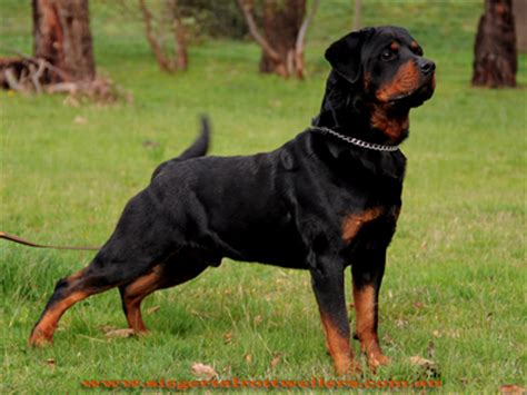 world rottweiler the pet directory australia worlds largest pet invitations ideas