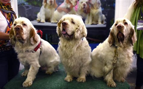 westminster show 2018 2018 westminster kennel show photos prove dogs are travel leisure