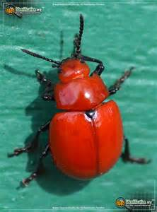 Garden Pests Ontario - reddish potato beetle bug scientific name characteristics classification taxonomy