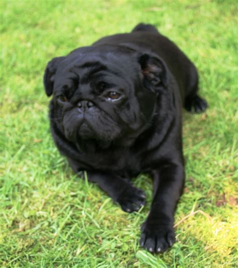 pug norwich black pug boy at stud norwich norfolk pets4homes