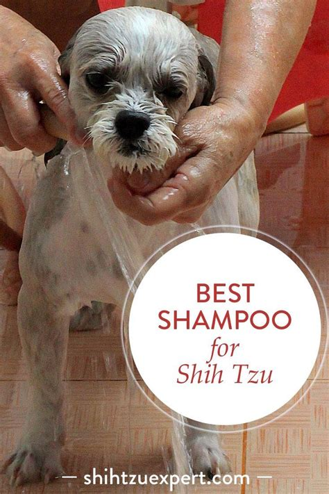 buying a shih tzu puppy what to look for best 25 shih tzu ideas on shih tzu shih tzu and shih tzu puppy