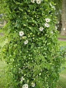 Passion Fruit Climbing Plant - passiflora caerulea constance elliott landscape architect s pages