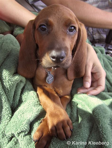 coonhound puppies redbone coonhound pups www imgkid the image kid has it