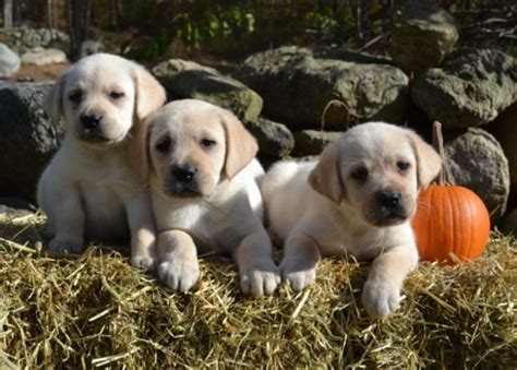 yellow lab puppies for sale in ma labrador retriever puppy massachusetts photo