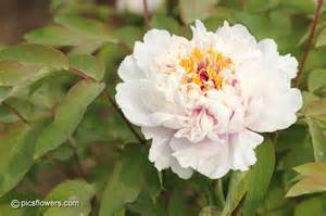 White Peony Flower - white peony flower pictures images 234