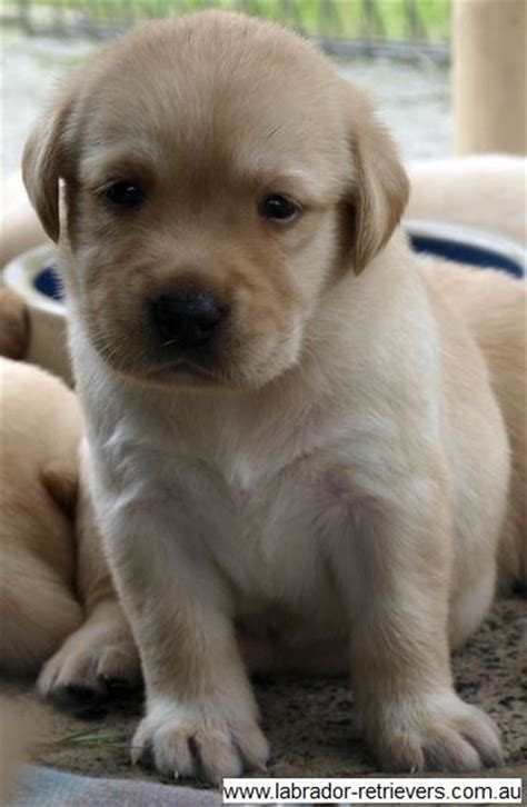 golden retriever puppies nsw quelques liens utiles