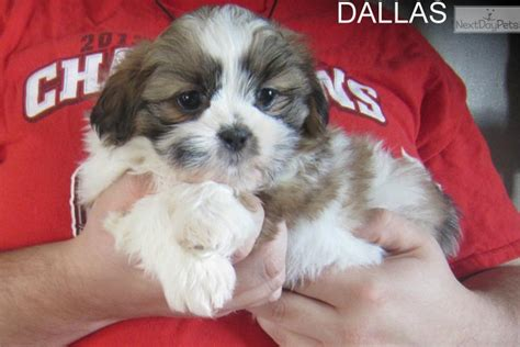 shih tzu puppies for sale in nashville tn shih tzu puppy for sale near nashville tennessee 76412053 e001