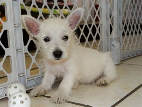 dogs for sale colorado springs west highland white terrier westie puppies dogs for sale in colorado springs