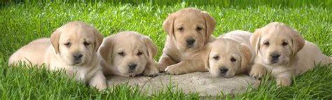 lab puppies cincinnati cincinnati lab rescue